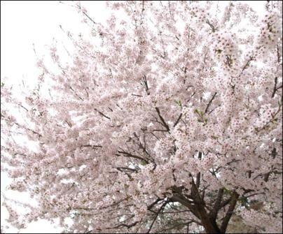 """【驚愕】""""桜""""の語源、韓国語のコレだったwwwwwwwwwwwwwwwwwwwww」のサムネイル画像"""