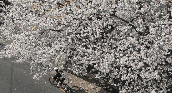 【悲報】韓国「日本さん、特別な国花がないwwwwwwwwwwwwwwwwwwwww」のサムネイル画像