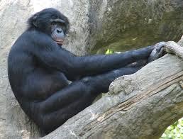 【京大】観察中のボノボ同士が喧嘩 → 落下した枝が頭に直撃 → その結果が悲惨すぎる・・・・・のサムネイル画像