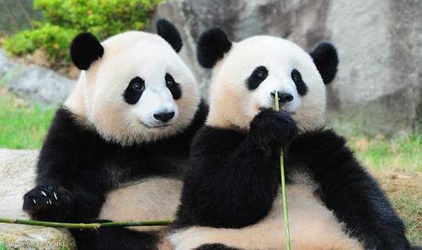 【悲報】中国「神戸よ、パンダを返せ。契約終了な」→ その結果・・・のサムネイル画像