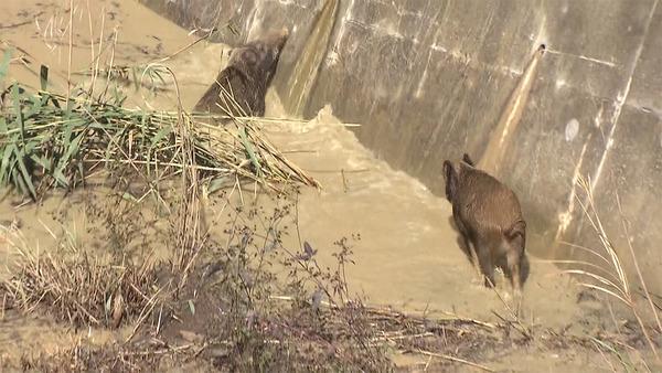 【映像あり】砂防ダムにイノシシ2頭転落 → 市「救助できない!」→ その理由が・・・・・