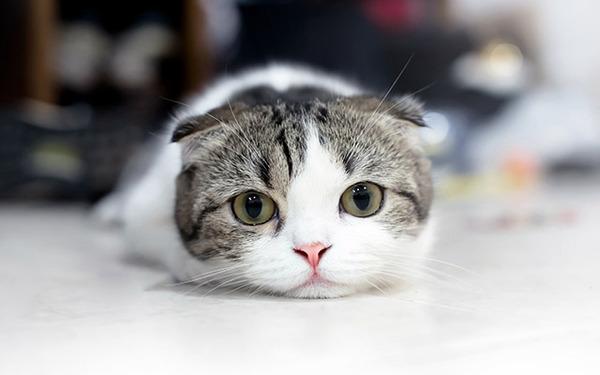 【画像】この「デブ猫」くそケンカ強そうwwwwwwwwwwwwwwwwのサムネイル画像