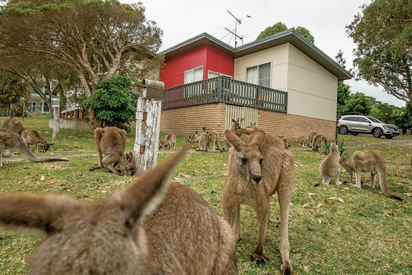 【悲報】オーストラリア「カンガルーが増えすぎてヤバい!!!」→その結果wwwwwwwwwwwwwwwwwwのサムネイル画像