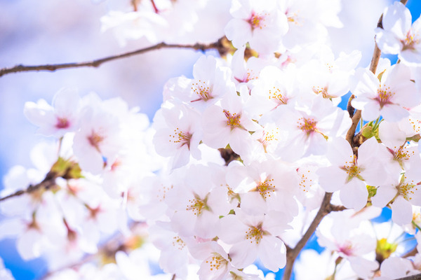 【悲報】韓国人「ソメイヨシノは韓国起源説」あきらめないwwwwwwwwwwwwwwwwwwwwwのサムネイル画像