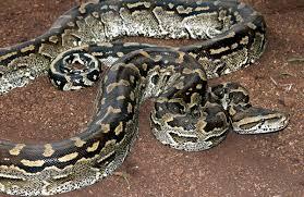 【※閲覧注意】体長7メートルのニシキヘビの体内から「とんでもないもの」が現れる・・・のサムネイル画像