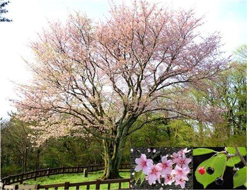 【愕然】「ソメイヨシノ」起源論争に終止符!!!→ 韓国人学者、ガチでヤバいことを言い始めるwwwwwwwwwwwwwwwのサムネイル画像
