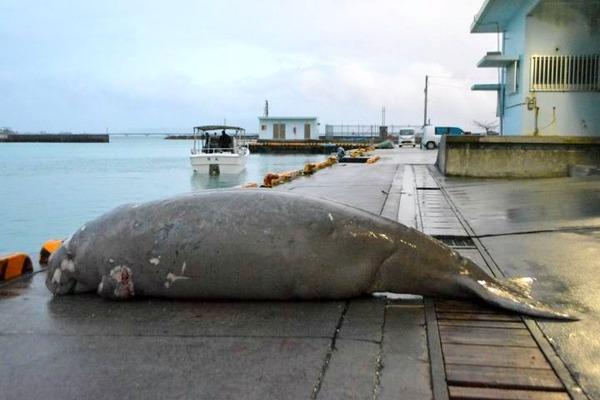 【驚愕】アメリカの自然保護12団体「沖縄のジュゴンが死んだ…」→その結果wwwwwwwwwwwwwwwwwwwwwのサムネイル画像