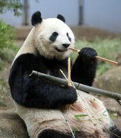 【速報】あの県がジャイアントパンダを誘致へwwwwwwwwwwwwwwwwwwwのサムネイル画像