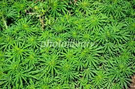 【速報】全国一斉に大麻を合法化!!!→「愛好家」さん、狂喜へwwwwwwwwwwwwwwwww