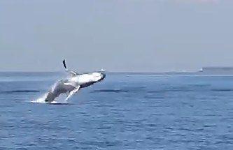 【速報】東京湾のクジラさん、何かを訴えかけるようにジャンプを繰り返すのサムネイル画像