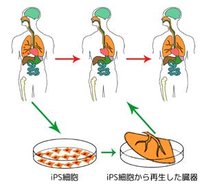 300px-Ips_cells_ja