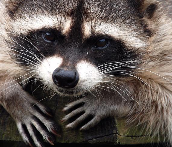 【悲報】署名「アライグマを山に返して!」→ 環境省の反応がwwwwwwwwwwwwwwwwwwwwのサムネイル画像