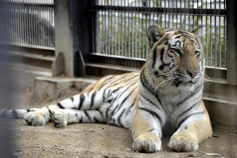 韓国人飼育係を襲ったプーチン寄贈のシベリア虎が恐ろしすぎる【画像あり】のサムネイル画像