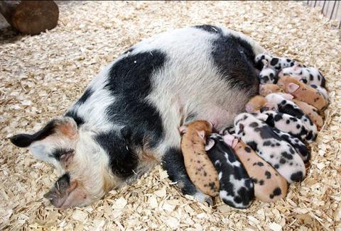 イギリス生まれの子豚達がおいしsかわいい!!!!!! 2ch「食わないで」【画像あり】のサムネイル画像
