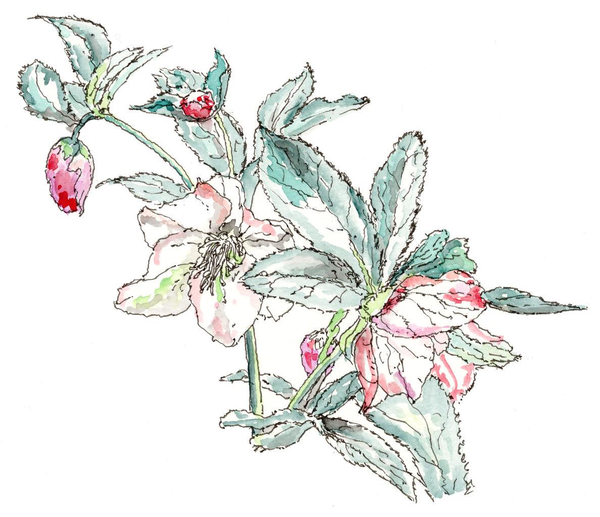 150408_クリスマスローズ (1)