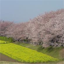 尾根道 菜の花畑