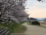 kamogawa sakura