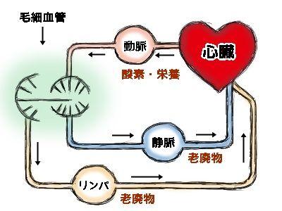 血管・リンパ管