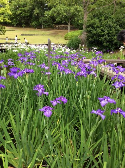 日本庭園菖蒲園