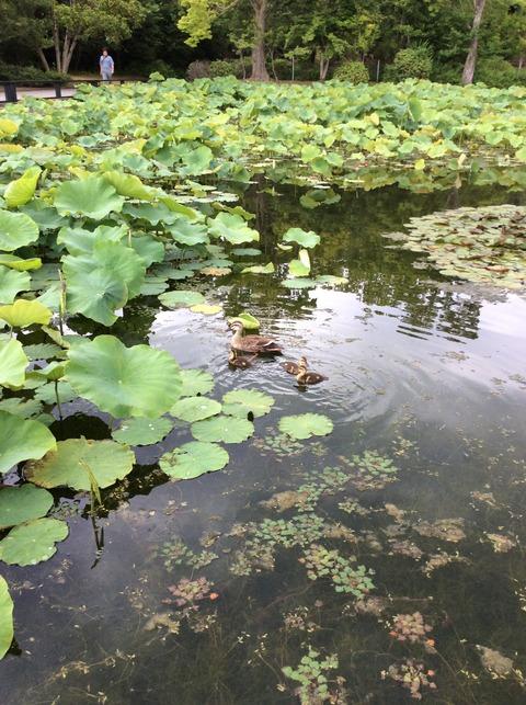 日本庭園カモの親子