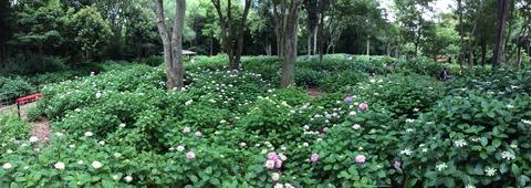 万博公園紫陽花