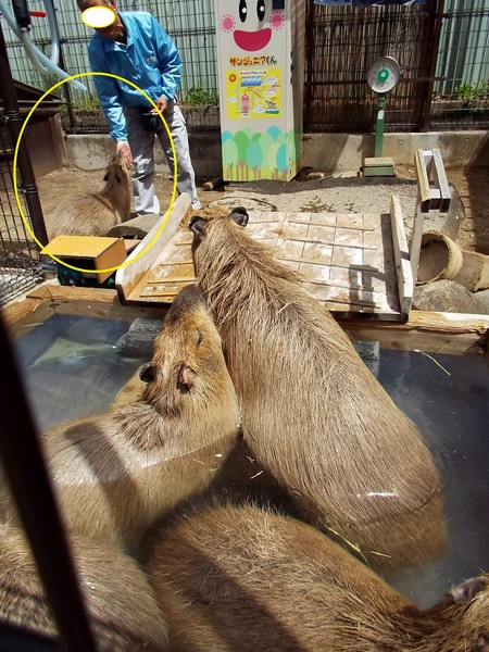 4-180416capybara