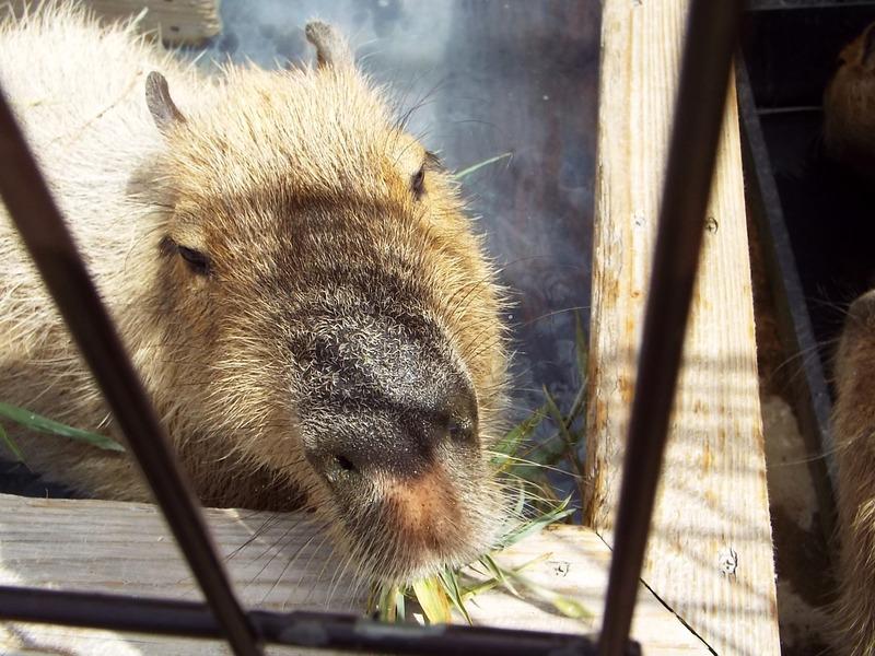 10-180416capybara