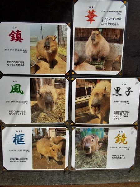 11-180416capybara