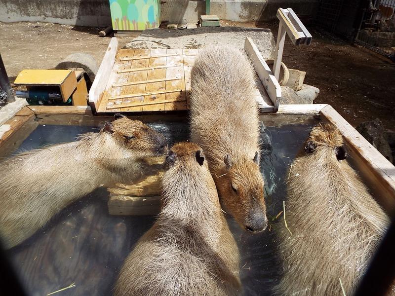 5-180416capybara