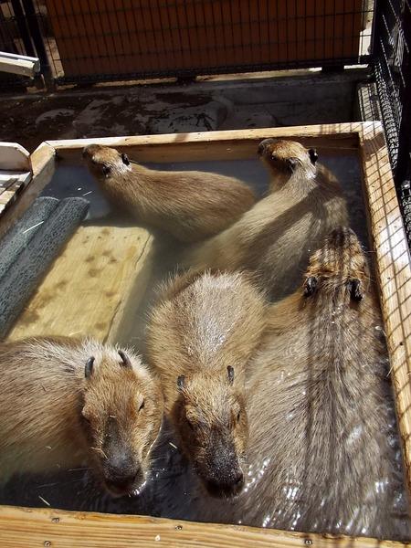 7-180416capybara