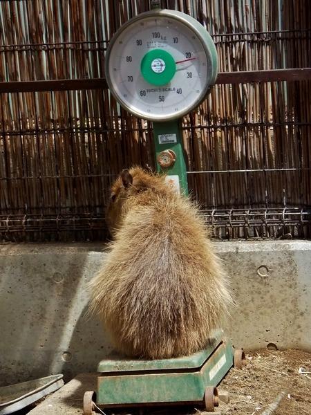 13-180416capybara