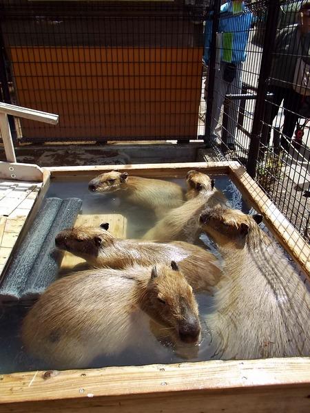 6-180416capybara
