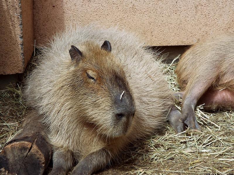 1-180416capybara