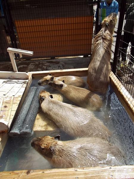 8-180416capybara