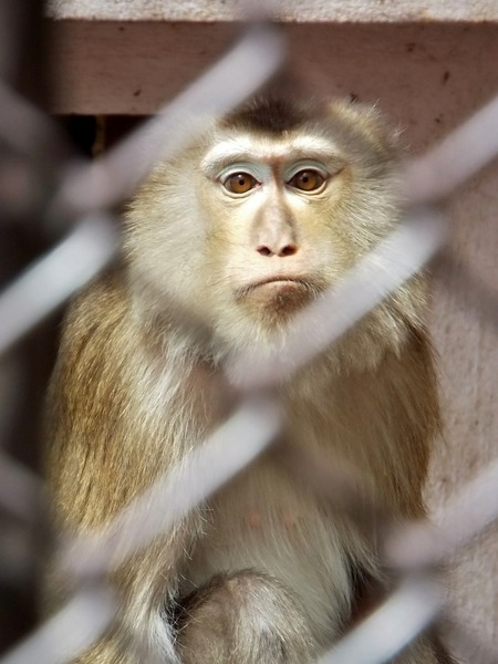 28-180416pigtailedmacaque