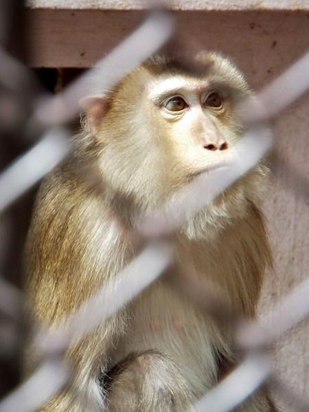 29-180416pigtailedmacaque