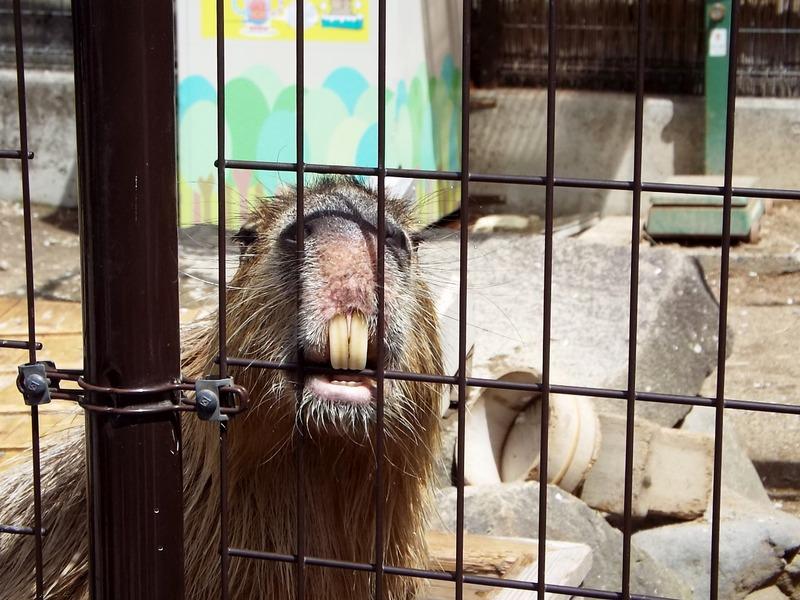 9-180416capybara