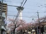 五稜郭タワー前の桜並木