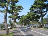 七飯町の赤松街道で松のこも巻き中