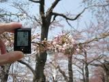 五稜郭公園の桜はもう少しで満開