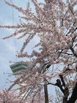函館で一番早く見所を迎えた桜
