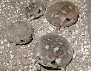 アメフクラガエルBreviceps adspersus
