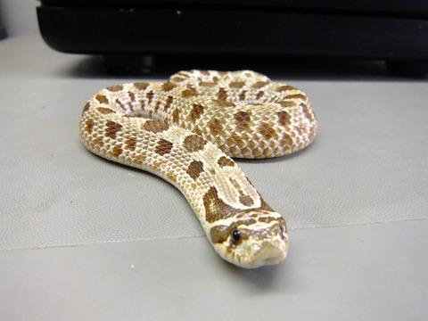 シシバナヘビ1