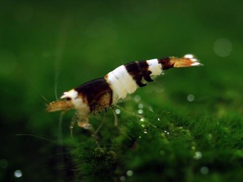 レッドビーシュリンプbee shrimp