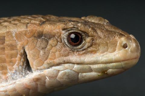 オニプレートトカゲ Gerrhosaurus major