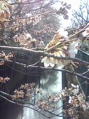 桜2010-3