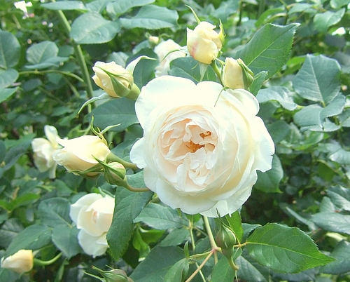 京成バラ園20120523 ERローズマリー
