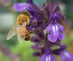 091101 ミツバチ&ラベンダーセージ