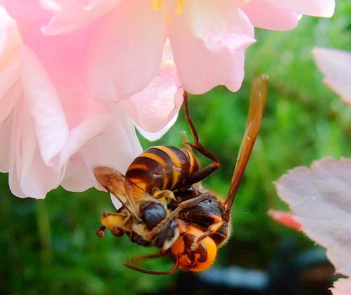 120701 ミツバチを捕らえたスズメバチ