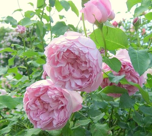 京成バラ園20120523 ERチャールズレニマッキントッシュ